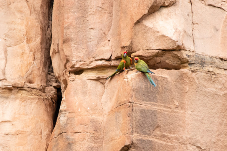 La paraba frente roja anida en las hendiduras de las rocas. Foto: Fundación Conservación Loros en Bolivia.