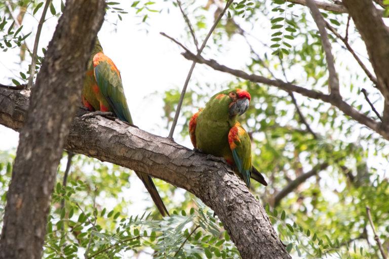 La caza ha sido una de las causas de la reducción de la población de la especie. Foto: Fundación Conservación Loros en Bolivia.