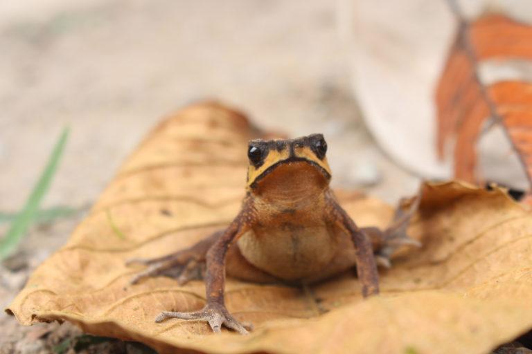Rhaebo colomai se encontró de nuevo en Ecuador luego de 30 años. Foto: cortesía Carolina Reyes-Puig.