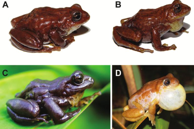 Fotos A,B y D corresponden a tres machos vivos de Pristimantis andinogigas. C: Hembra adulta viva. Fotos: David Veintimilla-Yánez.