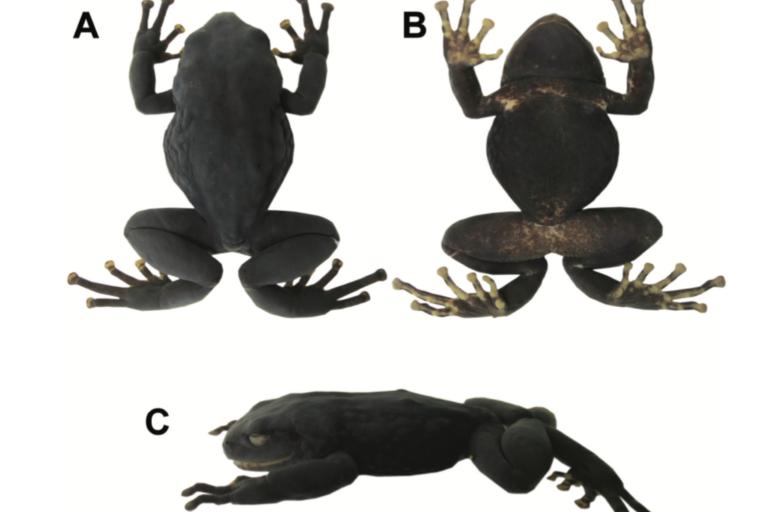 Vistas de una hembra adulta de Pristimantis andinogigas. A: Vista dorsal. B: Vista ventral y C: Vista lateral. Imágenes: Mario Yañez.