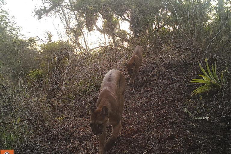 Se colocaron 104 cámaras trampa para el monitoreo de la fauna en los bosques de Udima. Foto: SBC Perú.