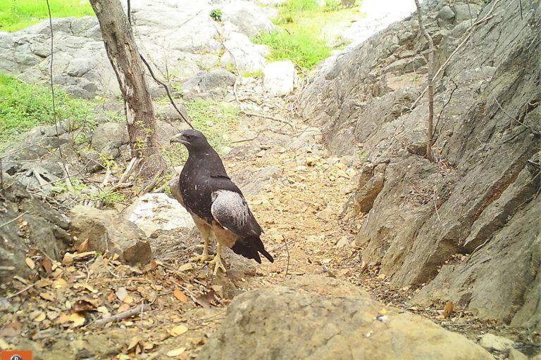 Las cámara trampa captaron 15 especies de aves en los bosques de Udima. Foto: SBC Perú.