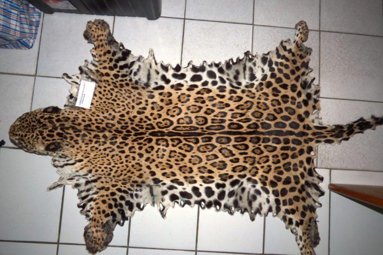 El tráfico de las partes de jaguar es otro problema que está causando la reducción de la especie. Foto: Damián I. Rumiz / Museo NKM.