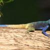 Imagen principal: un agama de cabeza azul (Acanthocercus atricollis). Foto: Rhett A. Butler