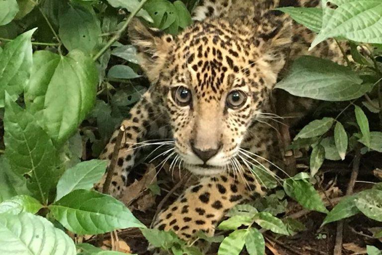 Hasta el momento, 800 animales de 65 especies de mamíferos, aves y reptiles viven en este centro de rescate ubicado a dos horas de La Paz. Foto: Senda Verde