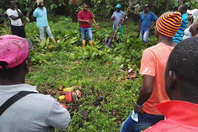 Comunidades recogen el cacao. Foto: Fedecacao.