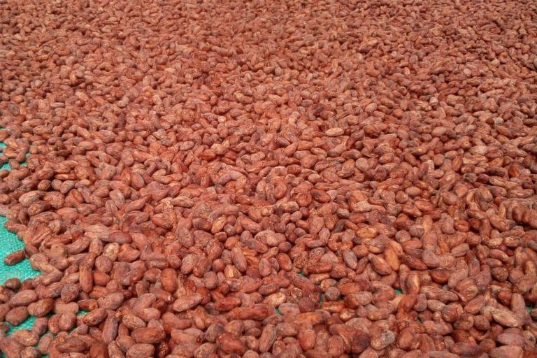 Parte del cacao cultivado en Tumaco se vende bajo la línea premium, para productos de calidad superior. Foto: Consejo Comunitario de Bajo Mira y Frontera.