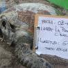 Desde noviembre 2018 que los habitantes de Arica no han vuelto a ver las tortugas marinas que normalmente forrajeaban en el sector La Puntilla. Foto: TortuArica