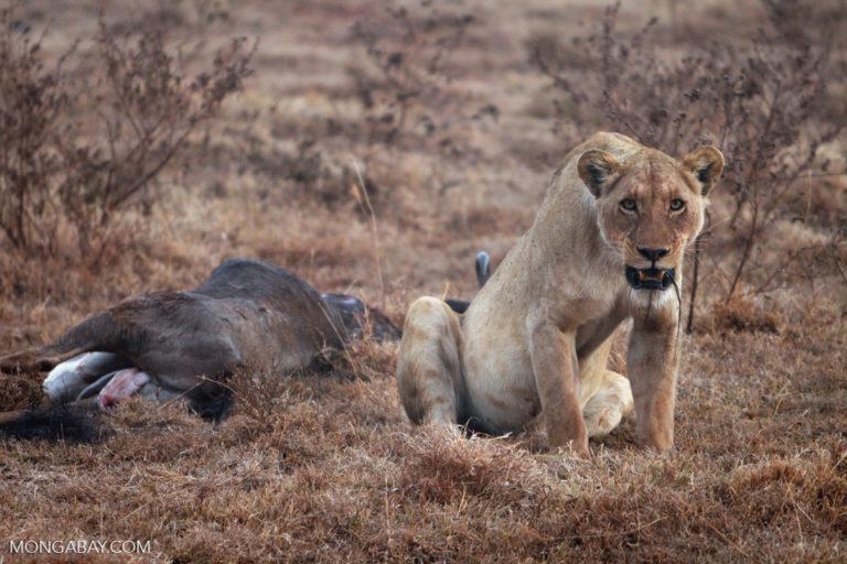 Una leona (Panthera leo), luego de dar caza a un ñu en la Zona de conservación de Ngorongoro, Tanzania. Foto: Rhett A. Butler / Mongabay
