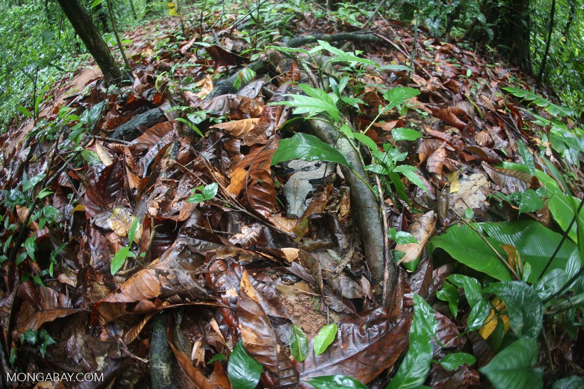 Una boa constrictor camuflada en el suelo del bosque. Foto: Rhett A. Butler / Mongabay