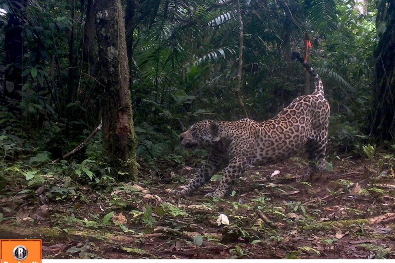 Cámaras trampa monitorean a los jaguares en las áreas protegidas de la triple frontera entre Perú, Ecuador y Colombia. Foto: WWF Perú.