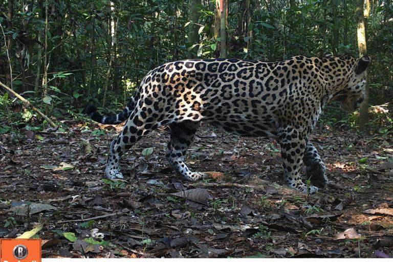 Más de 64000 imágenes fueron captadas por las cámaras trampa. Foto: WWF Perú.