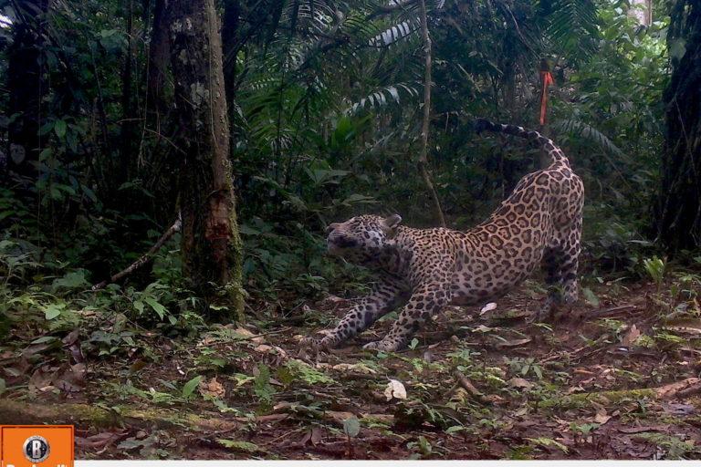 La caza furtiva y la destrucción de su hábitat son las principales amenazas para el felino más grande de América. Foto: WWF Perú.