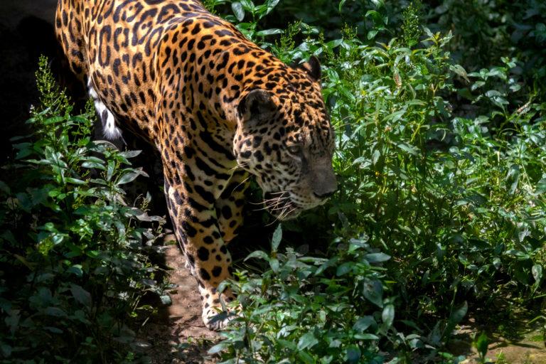 Según proyecciones preliminares, la población de jaguar en esta zona podría llegar a 2000 animales. Foto: © Diego Pérez / WWF Perú