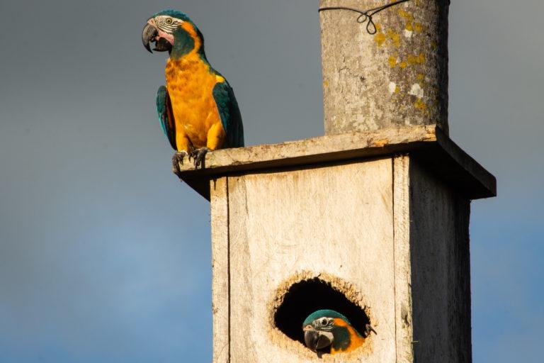La instalación de cajas nido ha dado resultados alentadores para la conservación de la paraba barba azul. Foto: Asociación Armonía.