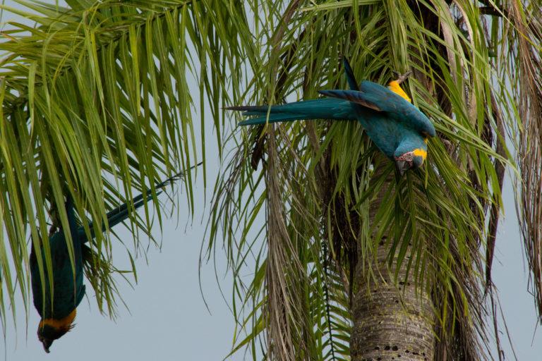 En la década de 1980 el tráfico de fauna puso a la paraba barba azul al borde de la extinción. Foto: Asociación Civil Armonía.