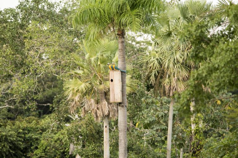 Los nidos artificiales son un esfuerzo para evitar la extinción de la paraba barba azul. Foto: Fundación para la Conservación Loros de Bolivia.