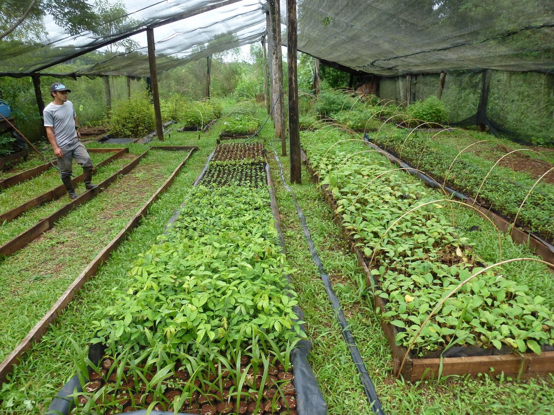 En el vivero de la Reserva Yateí se preparan los plantines de especies autóctonas que ayudan a reforestar las antiguas zonas de pastoreo y cultivo. Foto: Diego Varela.