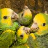 Grupo de cotorras margariteñas, conocidas científicamente como Amazona barbadensis. Foto: Roland Seitre - Provita.