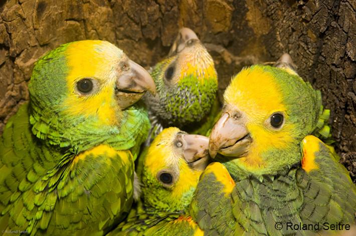 Grupo de cotorras margariteñas conocidas científicamente como Amazona barbadensis. Foto: Roland Seitre - Provita.