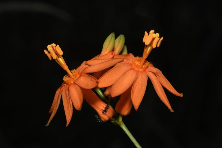 Apaporis Colombia. Maracuyá silvestre (Passiflora spinosa). Foto: Instituto SINCHI.