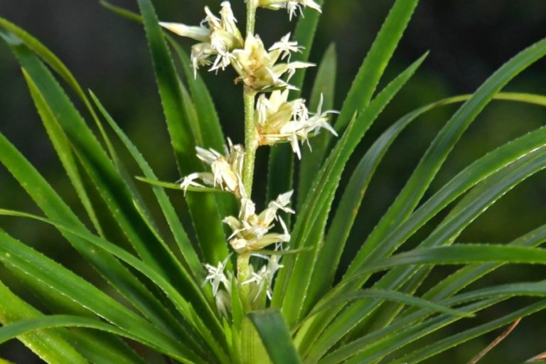 Apaporis Colombia. Bromelia(Brocchinia sp). Especie nueva para la ciencia. Foto: Instituto SINCHI.