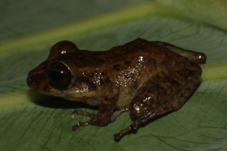 Apaporis Colombia. Pristimantis sp. Especie nueva para la ciencia. Foto: Instituto SINCHI.