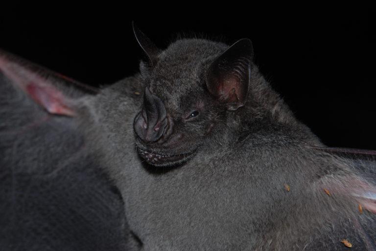 Apaporis Colombia. Artibeus obscurus. Foto: Instituto SINCHI.