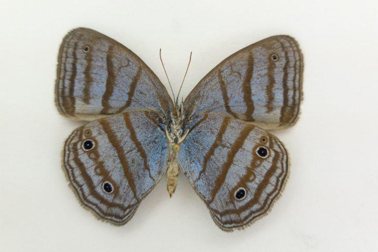Apaporis Colombia. Caeruleuptychia sinchi. Especie nueva para la ciencia. Foto: Instituto SINCHI.