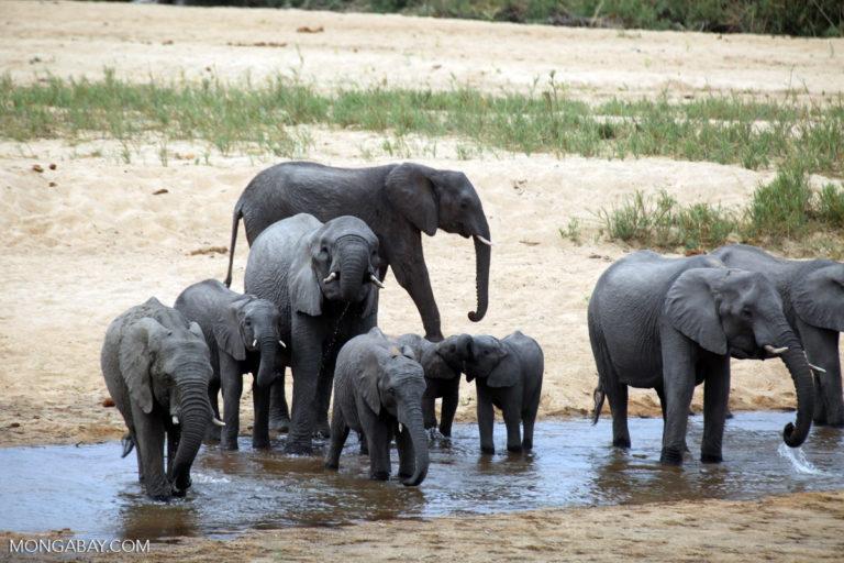 Una manada de elefantes africanos (Loxodonta africana) en el Parque Nacional Kruger, Sudáfrica. Foto: Rhett A. Butler / Mongabay