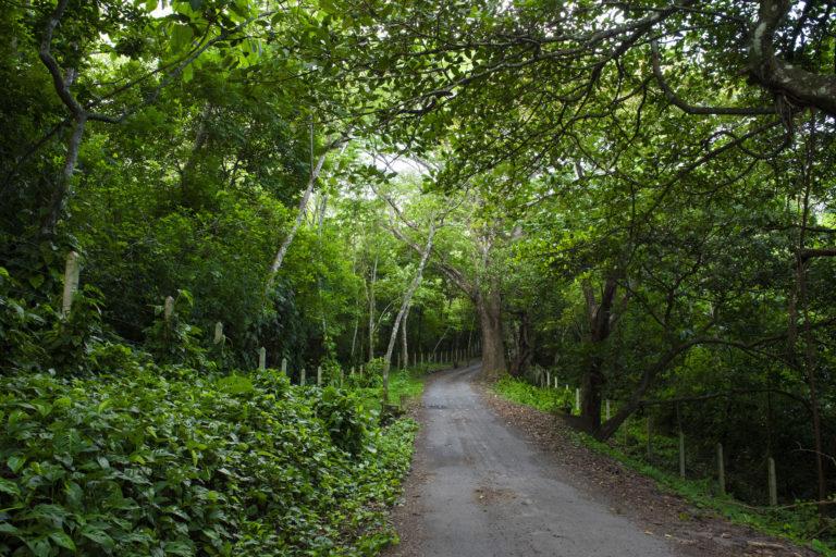 Bosque en campo geotérmico. Los bosques en el Campo Geotérmico Alfredo Mainieri Protti brindan servicios ambientales como fijación de carbono, protección de recurso hídrico y suelo, así como belleza escénica. Foto: Nina Cordero.