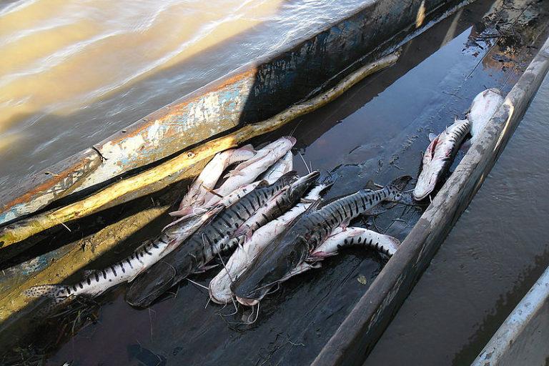 Peces de agua dulce en Colombia. En 2014, el Ministerio de Ambiente incluyó al bagre rayado del Magdalena en su lista de especies en peligro. Foto: Nadya Chaves - Universidad Nacional.
