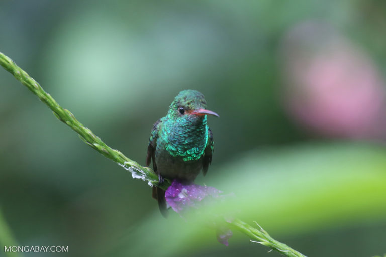 Un colibrí en la selva de Costa Rica. Foto: Rhett A. Butler / Mongabay