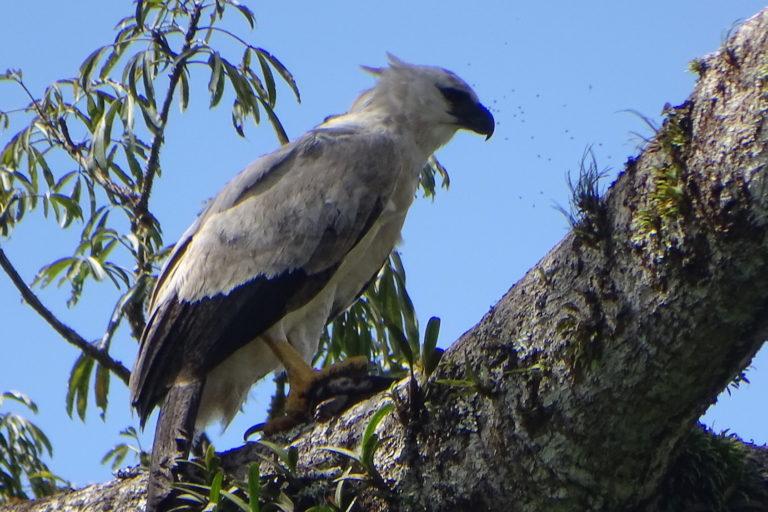 Día de los Pueblos Indígenas La comunidad de Gareno está protegiendo el hábitat del águila harpía. Foto: Fundación EcoCiencia.