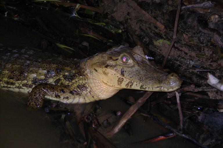 James Aparicio también investiga a los caimanes de Bolivia. Foto: Ninon Ríos.