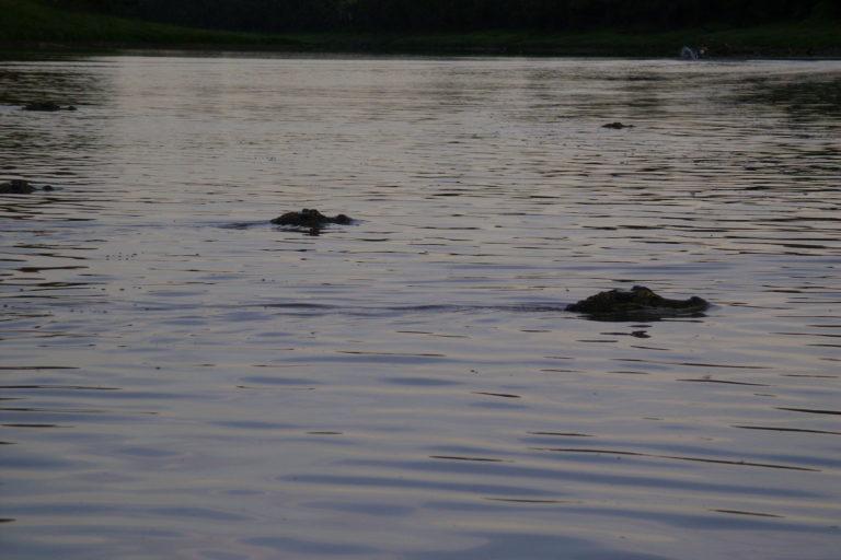 Ninon Ríos ha trabajado con comunidades nativas para el manejo del caimán. Foto: Ninon Rios.