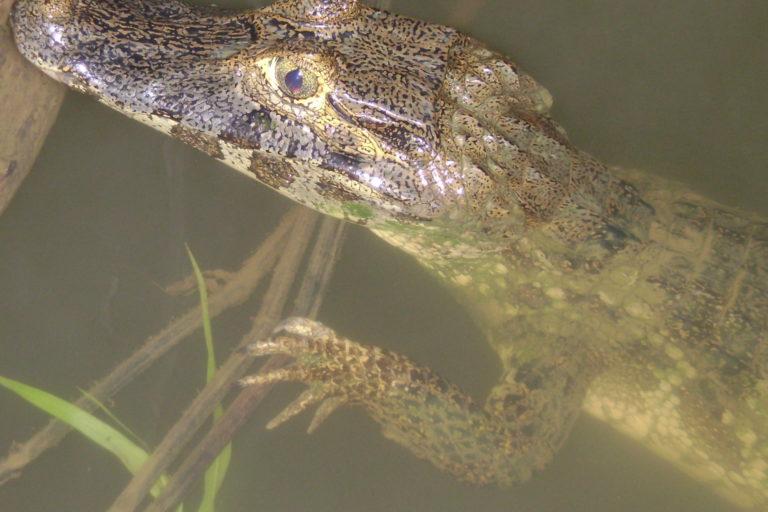 Los caimanes están amenazados por el tráfico de pieles en Bolivia. Foto: Ninon Ríos.