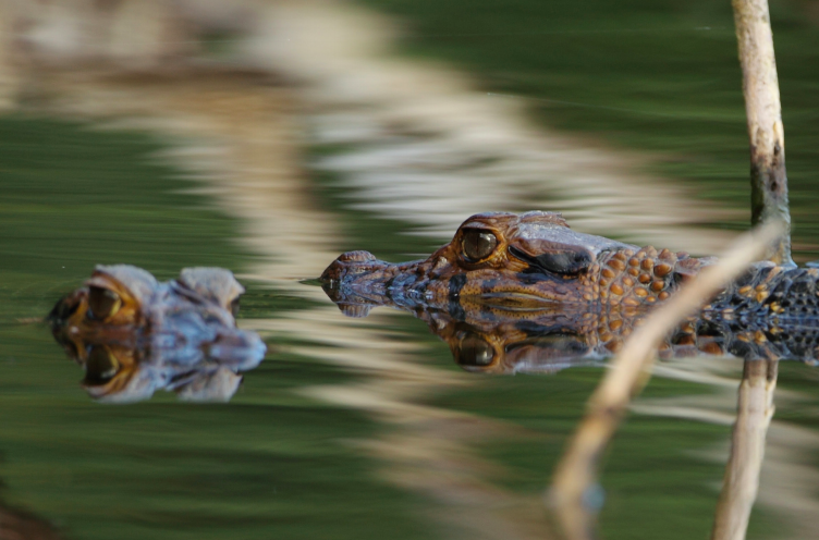 La pérdida del hábitat es otra de las amenazas sobre los caimanes en Bolivia. Foto: WCS Bolivia.