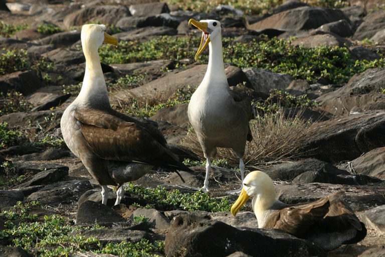 Albatros de Galápagos
