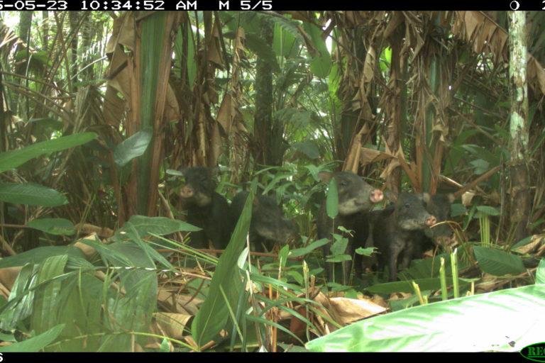 Conservación Magdalena Medio. Pecarí barbiblanco (Tayassu pecari) captado en cámara trampa. Foto: PVS / WCS Colombia.