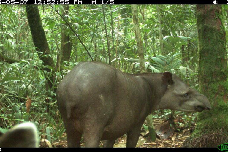 Conservación Magdalena Medio. Danta (Tapirus terrestris) captada en cámara trampa. Foto: PVS / WCS Colombia.