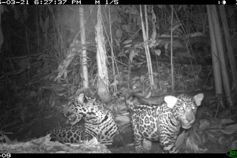 Conservación Magdalena Medio. Los jaguares también se ven en el Magdalena Medio. Foto: PVS / WCS Colombia.