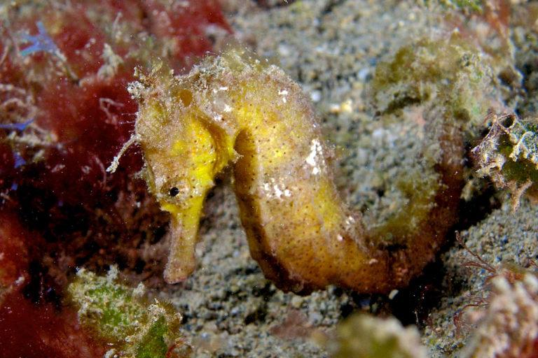 El caballito de mar oceánico (Hippocampus kuda) es uno de los caballitos de mar más comúnmente comercializados. Imagen de Nick Hobgood a través de Wikimedia Commons (CC BY-SA 3.0).