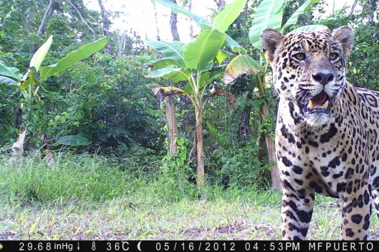 jaguares venezuela amenazas