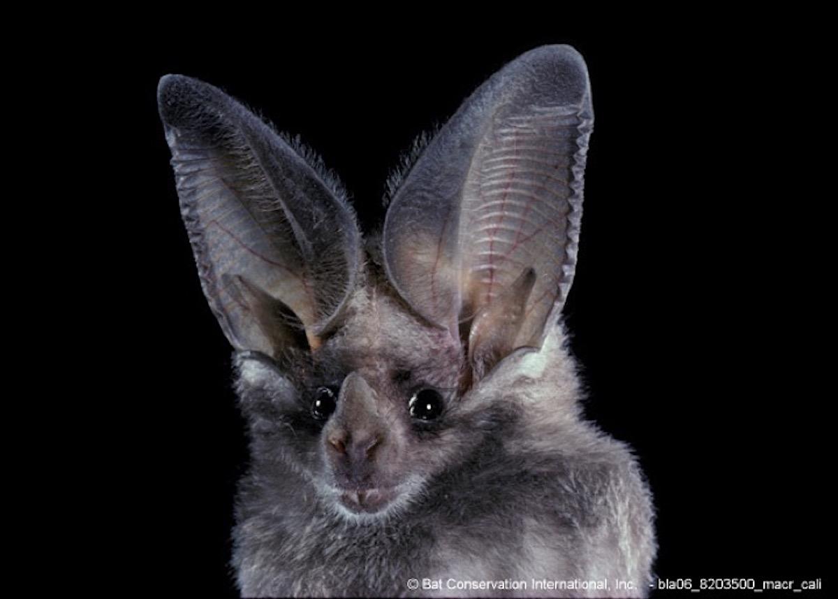 murciélagos latinoamerica bolivia