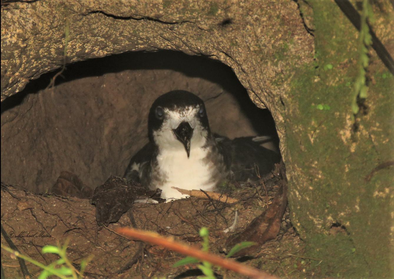 Conservación del petrel de galápagos. Petrel de Galápagos en su nido en el suelo. Foto: Fundación Jocotoco - Michael Moens.