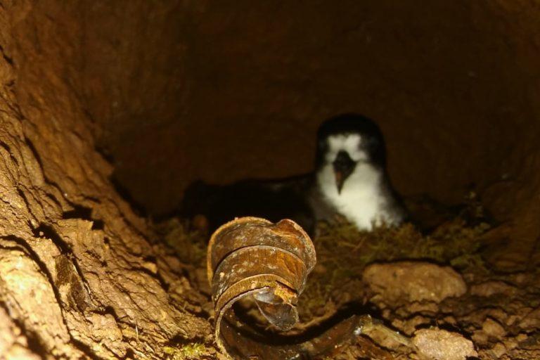 Conservación del petrel de galápagos. Tomar fotografías a los petreles en sus nidos es difícil pues no se puede usar flash y a veces son muy profundos. Foto: Rafael Díaz.