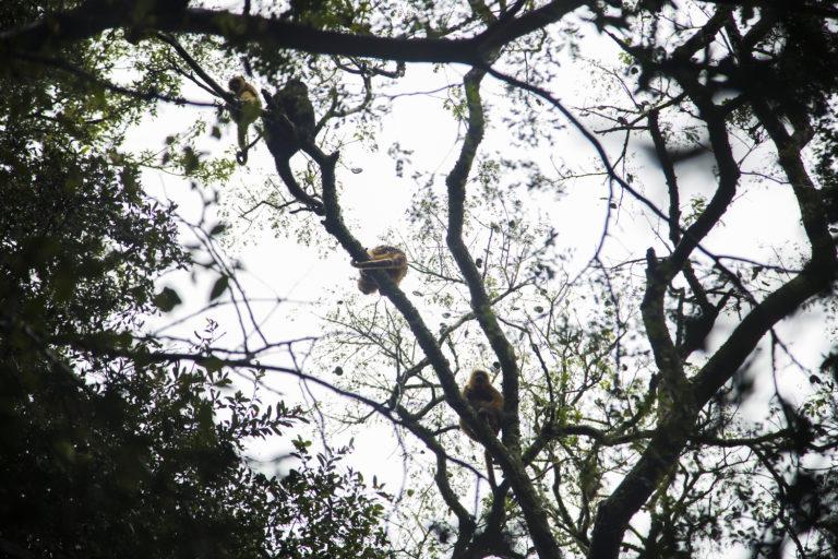 Un macho de carayá común (Aloauatta caraya), más grande y de pelaje oscuro, descansa con varias hembras en las ramas de un árbol. Foto: Fundación Vida Silvestre – @YawarFilms