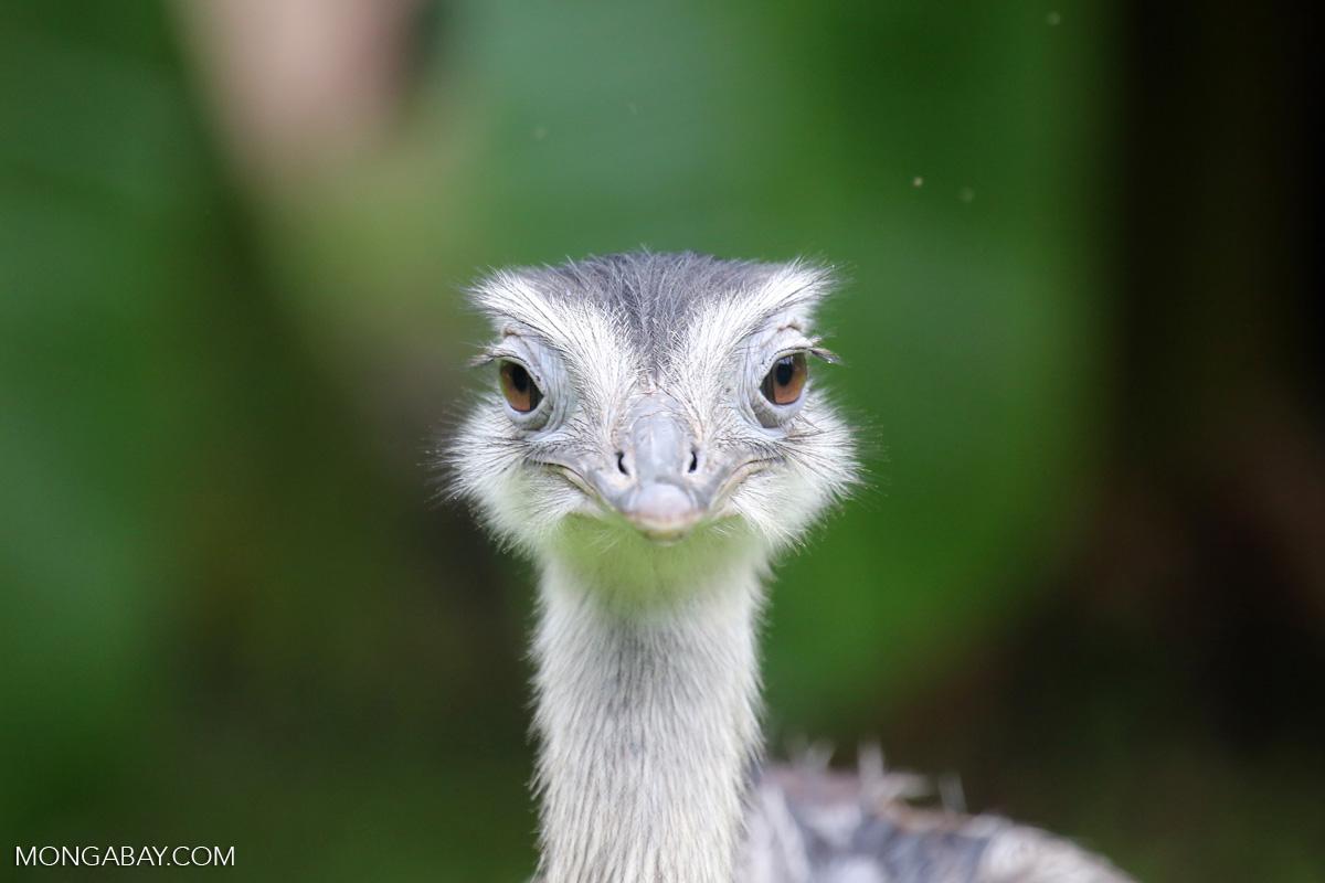 Un ñandú común (Rhea americana), una ave endémica de Sudamérica, cuyas cinco subespecies habitan desde el centro de Brasil al norte de la Patagonia en Argentina. Foto: Rhett A. Butler / Mongabay